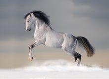 Cavalo árabe branco no inverno foto de stock