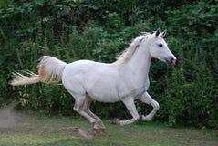 Cavalo árabe branco que gallopping Fotografia de Stock Royalty Free