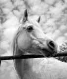 Cavalo árabe branco que olha direito em preto e branco Imagens de Stock