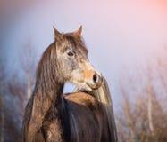 Cavalo árabe com o revestimento do inverno no fundo do céu Imagens de Stock