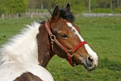 Cavalo árabe em Baixa Saxónia, Alemanha foto de stock royalty free