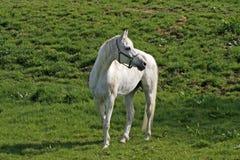Cavalo árabe em Baixa Saxónia, Alemanha imagem de stock royalty free