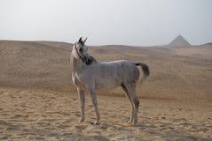 Cavalo árabe na frente das pirâmides imagem de stock royalty free