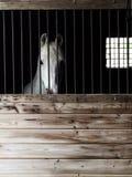 Cavalo árabe no celeiro fotografia de stock royalty free
