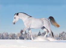 Cavalo árabe que galopa no inverno Imagem de Stock Royalty Free
