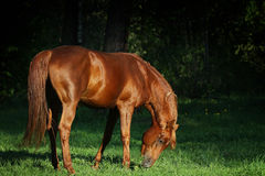 Cavalo árabe que pasta na floresta imagem de stock