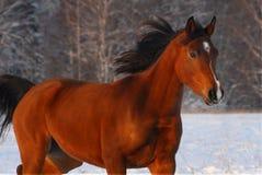 Cavalo árabe vermelho bonito em um campo de neve Fotografia de Stock