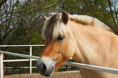 Cavalo agradável do fjord Fotos de Stock