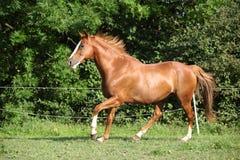 Cavalo agradável que corre no pasto imagens de stock royalty free