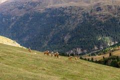 Cavalo alpino em montanhas de Tirol Brown gee no fundo da montanha fotografia de stock royalty free