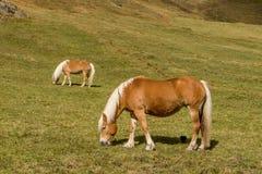 Cavalo alpino em montanhas de Tirol Brown gee no fundo da montanha fotografia de stock