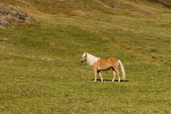 Cavalo alpino em montanhas de Tirol Brown gee no fundo da montanha imagem de stock