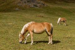 Cavalo alpino em montanhas de Tirol Brown gee no fundo da montanha foto de stock