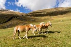 Cavalo alpino em montanhas de Tirol Brown gee no fundo da montanha fotos de stock