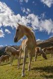 Cavalo alpino em montanhas de Tirol Brown gee no fundo da montanha imagens de stock royalty free