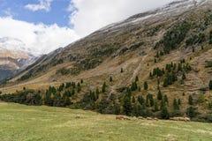 Cavalo alpino em montanhas de Tirol Brown gee no fundo da montanha imagens de stock