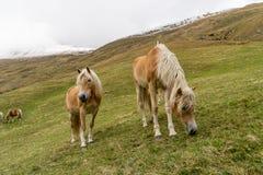 Cavalo alpino em montanhas de Tirol Brown gee no fundo da montanha foto de stock royalty free