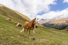 Cavalo alpino em montanhas de Tirol Brown gee no fundo da montanha imagem de stock royalty free