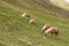 Cavalo alpino em montanhas de Tirol Brown gee no fundo da montanha fotos de stock royalty free
