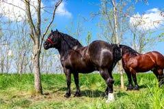 Cavalo amarrado a uma árvore com chicote de fios, rédeas fotografia de stock royalty free