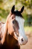 Cavalo americano da pintura fotos de stock royalty free