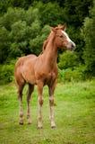 Cavalo americano da pintura imagens de stock royalty free