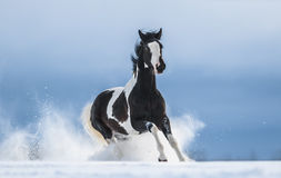 Cavalo americano de galope da pintura na neve fotos de stock