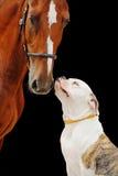 Cavalo americano do buldogue e da castanha, isolado no preto fotos de stock royalty free