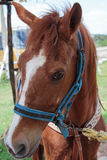 Cavalo amigável Fotos de Stock Royalty Free