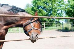 Cavalo amigável curioso da castanha que alcança à objetiva Foto de Stock Royalty Free