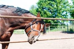 Cavalo amigável curioso da castanha que alcança à objetiva Fotos de Stock