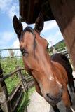 Cavalo amigável de Brown Fotografia de Stock