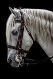 Cavalo andaluz Fotos de Stock