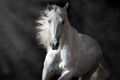 Cavalo andaluz branco no movimento Fotografia de Stock