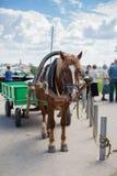 Cavalo aproveitado amarrado Fotografia de Stock Royalty Free