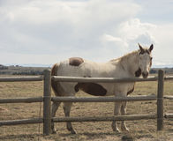 Cavalo atrás da cerca de madeira imagem de stock royalty free