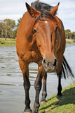 Cavalo bonito ao longo do banco de rio fotografia de stock