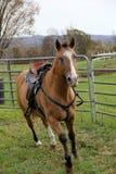 Cavalo bonito, com olhos azuis brilhantes Fotografia de Stock Royalty Free