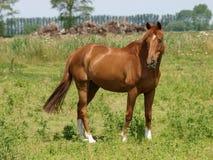 Cavalo bonito da castanha Imagens de Stock