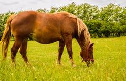Cavalo bonito de Brown em um campo Fotografia de Stock