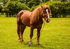 Cavalo bonito de Brown em um campo Fotos de Stock