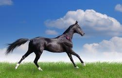 Cavalo bonito do akhal-teke Fotografia de Stock