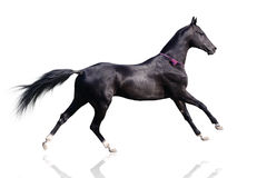Cavalo bonito do akhal-teke isolado no branco Imagens de Stock