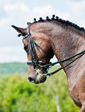 Cavalo bonito do dressage do esporte Imagem de Stock Royalty Free