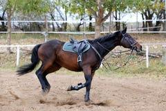 Cavalo bonito do esporte que corre apenas na competição de salto de mostra sem cavaleiros imagem de stock royalty free