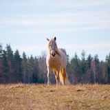 Cavalo bonito em um campo Foto de Stock Royalty Free
