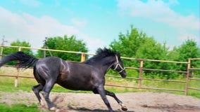 Cavalo bonito preto que galopa na grama verde ao longo da cerca do ferro no prado, nas paradas abruptamente e nas mudanças filme