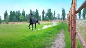 Cavalo bonito preto que galopa na grama verde ao longo da cerca do ferro no prado, nas paradas abruptamente e nos puxões seus filme