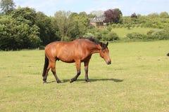 Cavalo bonito que anda em greenland imagem de stock royalty free