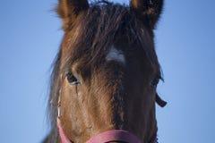 Cavalo bonito que levanta no fim do fundo do céu azul acima Foto de Stock